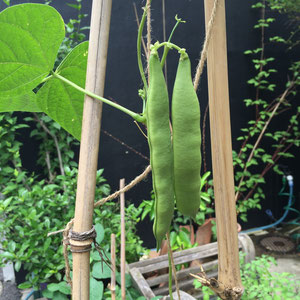 May 28th 2015 moroccan beans. They were babies a week ago,, but now they are grown ups!
