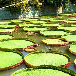 Die beeindruckenden Schwimmblätter der Riesenseerose werden im Durchmesser bis zu 2 m breit. Die Blätter ermöglichen ein Tragewicht von bis zu 80 kg.