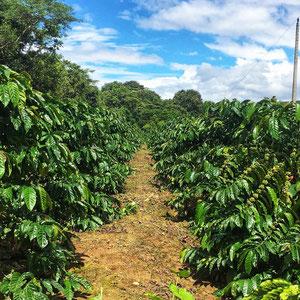 Zentrales Hochland – Kaffeeplantage in der Umgebung der Stadt Buon Ma Thuot. Vietnam ist der zweitgrößte Kaffeeproduzenten der Welt.