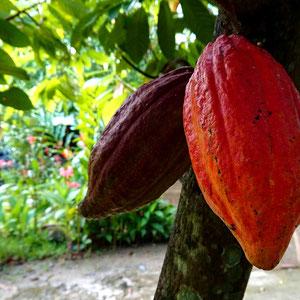 Der Samen des Kakaobaumes – die Kakaobohne. Das Mekong Delta ist der Obst- und Gemüsegarten Südvietnams.