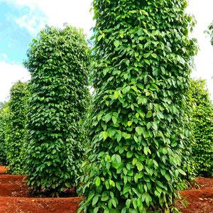 Pfefferpflanzen, Höhe bis 4 Meter, im zentralen Hochland Vietnams. Vietnam ist mit seinem Pfefferanbau weltweit der zweitgrößte Exporteur. Die Düngung der Pflanzen erfolgt u. a. mit den Schalen der Kaffeebohnen.