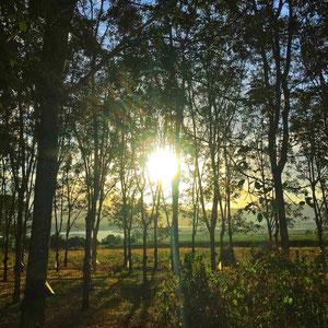 Zentrales Hochland, in der Umgebung von Pleiku - Plantage mit Kautschukbäumen. Vietnam steht auf Platz 6 der größten Produzenten von Naturkautschuk.