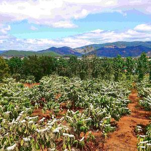 Die Blütezeit der Kaffeepflanze im zentralen Hochland Vietnams – ein herrlicher Duft und die Bienen sind unterwegs.