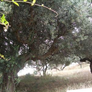 Olivenbäume hinter Haus und Terrasse