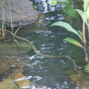 Ringelnatter im eigenen Teich