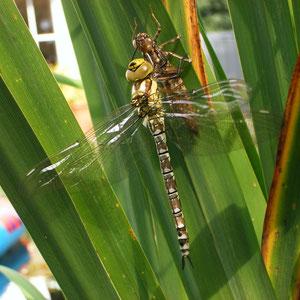 Libelle, Hülle der Libellenlarve im eigenen Teich