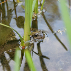 Frosch im eigenen Teich