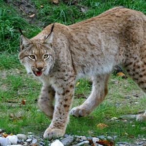 Luchs Tierpark Lange Erlen Basel Ernst Zimmermann