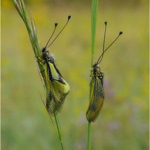 Östlicher und Westlicher Schmetterlingshaft Pfynwald 25.05.2014