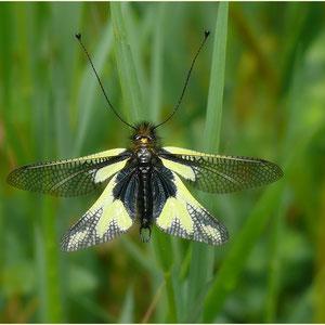 Schmetterlingshaft 05.05.2012
