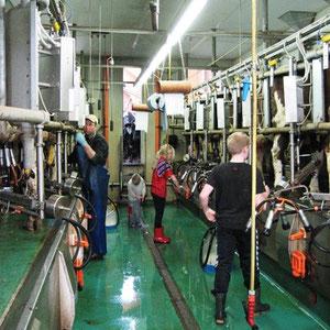 Bauernhofurlaub Eifel - die Kühe melken