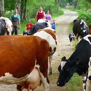 Bauernhofurlaub NRW - die Kühe kommen zurück zum Stall