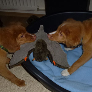 Ein neues Spielzeug, für zwei Hunde eines mit zwei Flügeln zum zerren