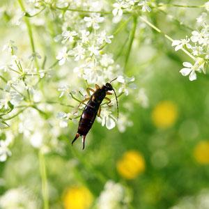 Ohrwurm Handhabung Insektenhotels