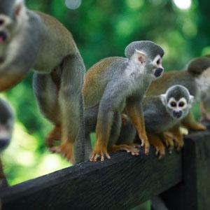 Auf verschiedene Affenarten trifft man im Regelnwald