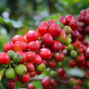 Das Synonym für Kolumbien: Kaffee