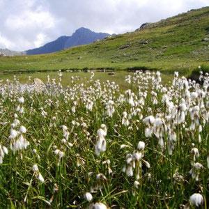 Crêtes de Peyrolle - Col de Granon : laquet au col de Granon et linaigrette - AU BOUT DES PIEDS