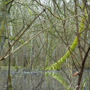marécage sous la forêt des Loges à Gond - AU BOUT DES PIEDS
