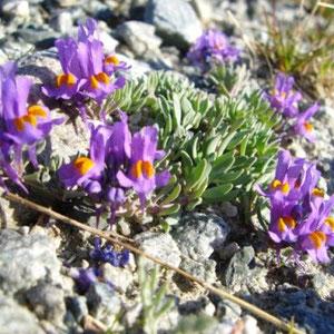 Ecrins : linaire des Alpes - AU BOUT DES PIEDS