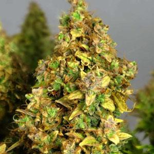 cannabis Blüte zu lange 2