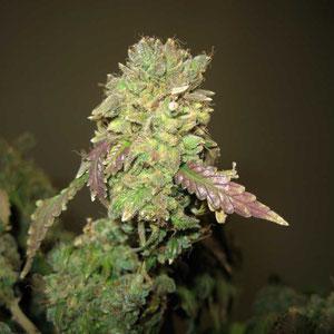 cannabis Blüte zu lange