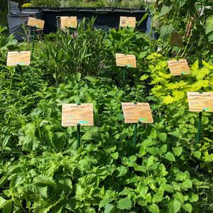 Grande diversité de plantes aromatiques