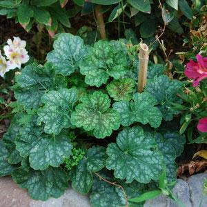 Plante herbacée Vivace : l'heuchère