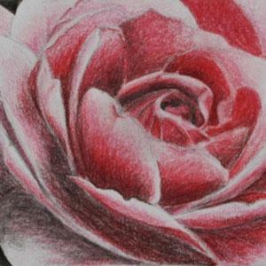 """""""Rose"""" Buntstiftzeichnung, 10 x 16cm, 2006"""