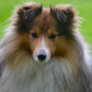 Sheltie Deckrüde d`sable