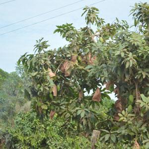 Mangos verpackt zum Schutz vor Insekten und Vögel
