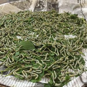 Seidenraupen auf Maulbeerblättern die sie fressen