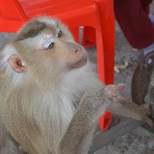 Affen im Tempel