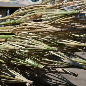 Bambusstöcke zum Mango ernten