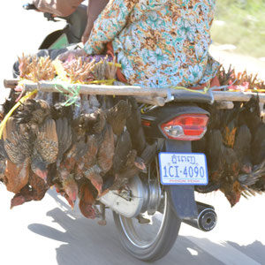 so werden Hühner transportiert
