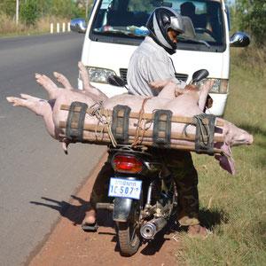 unterwegs zum Tonle Sap See - Viehtransport auf Kambodschanische Art