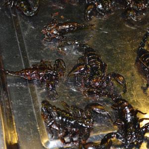 Khmer Street Food - gegrillte Skorpione