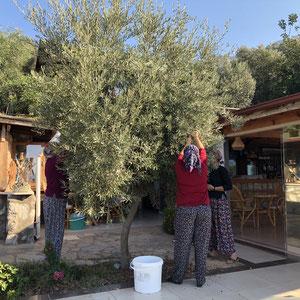eigene Oliven im Avalon