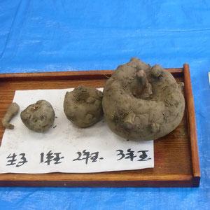 コンニャク芋は、植えてからこんにゃくを作るためには3年かかります。