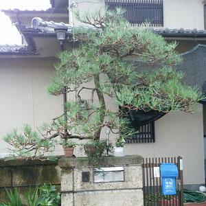 マツ(クロマツ)剪定作業後画像 奈良県大和高田市