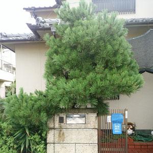 マツ(クロマツ)剪定作業前画像 奈良県大和高田市