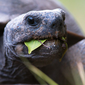 Gopher Tortoise; Barefoot Beach; Nikon D500 + AF-S 200-400 @ 400mm