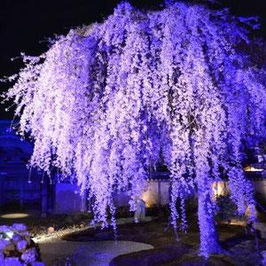 Cerisier illuminé, Koudaiji. Pendant la floraison, de nombreux lieux sont illuminés le soir pour mettre en valeur la beauté des cerisiers.