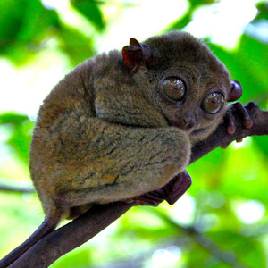 Or like a mix of a rat, a monkey and a bat: the Philippine Tarsier. Bohol, Philippines 2013 © Sabrina Iovino | JustOneWayTicket.com
