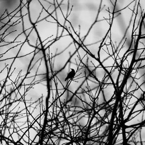 Ein Rabe macht eine Pause im hoch oben im Baumwipfel.