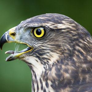 Wundervolles Tier. Ein Portrait einer Habichtdame einer befreundeten Falknerin.
