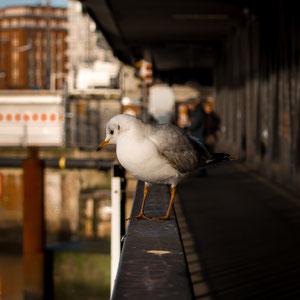 Eine Möwe sitzt auf dem Geländer einer der vielen Hamburger Brücke und blickt nach unten.