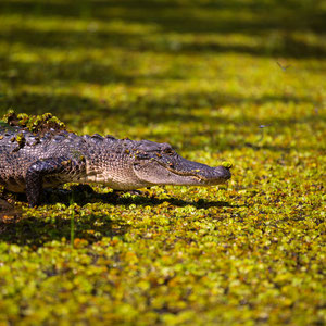 gator in Lake Martin, LA