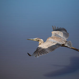 grey heron, Sanibel Island