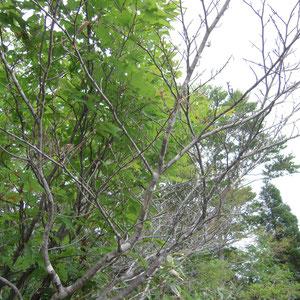 マンサクは枯れ木のよう
