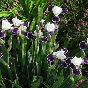 Iris Among Friends